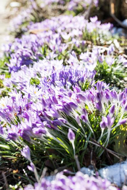 Wildkrokusse im Garten