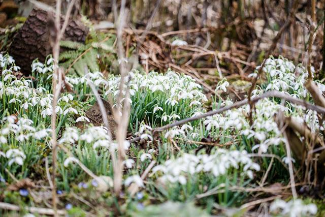 Frühlingsbeginn im Garten, Schneeglöckchen, Pomponetti