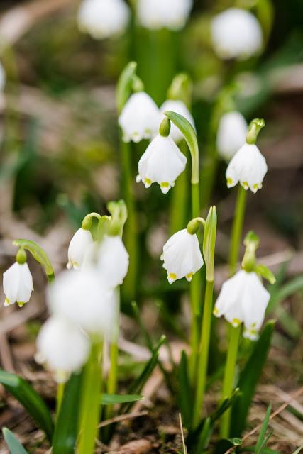 Frühlingsbeginn im Garten, Märzenbecher, Pomponetti