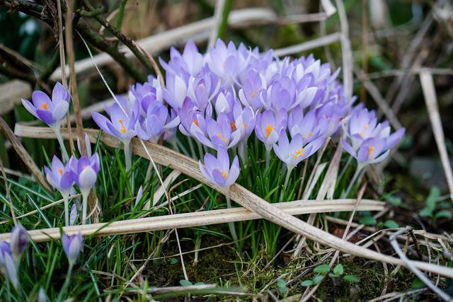Frühlingsbeginn im Garten, Wildkrokus, Pomponetti