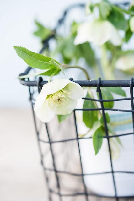 Freitagsblümchen, Helleborus, Pomponetti