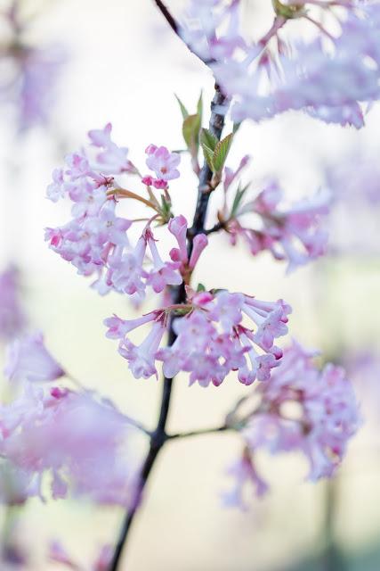 Winterschneeball, Frühling im Garten, Pomponetti