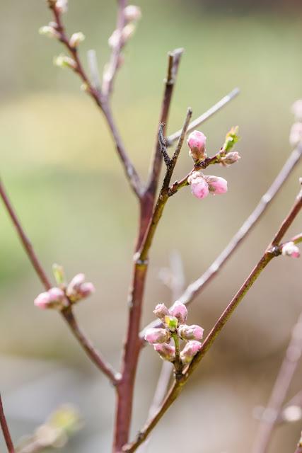 Garten Anfang April, Pfirsichblüte, Pomponetti