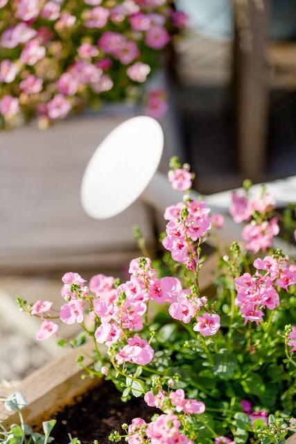 Gartenimpressionen, Sommerbepflanzung, Pomponetti