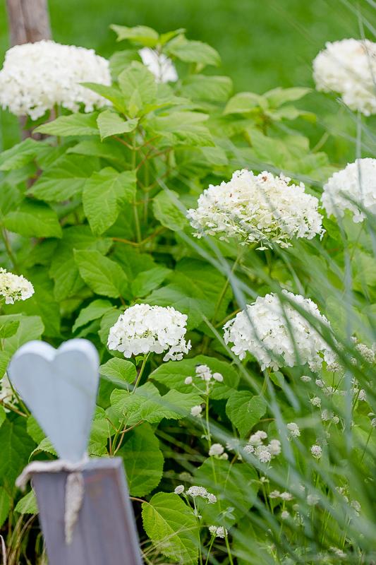 Gartenimpressionen im August, Hortensie Anbelle, Pomponetti