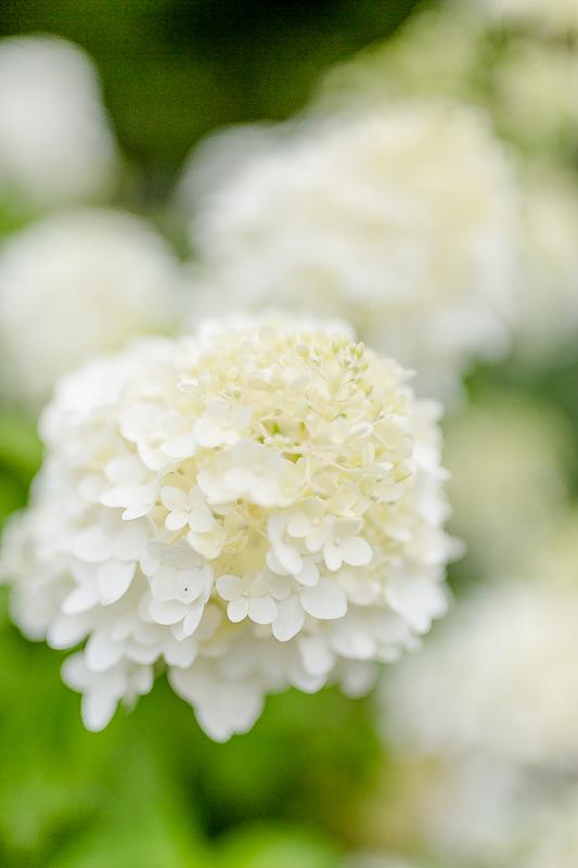 Gartenimpressionen im August, Rispenhortensie, Pomponetti