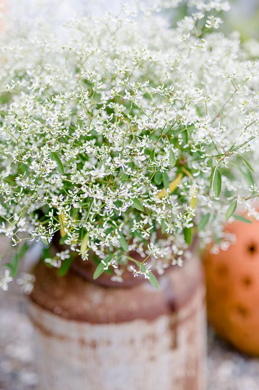 Gartenimpressionen im August, Pomponetti, Euphorbium