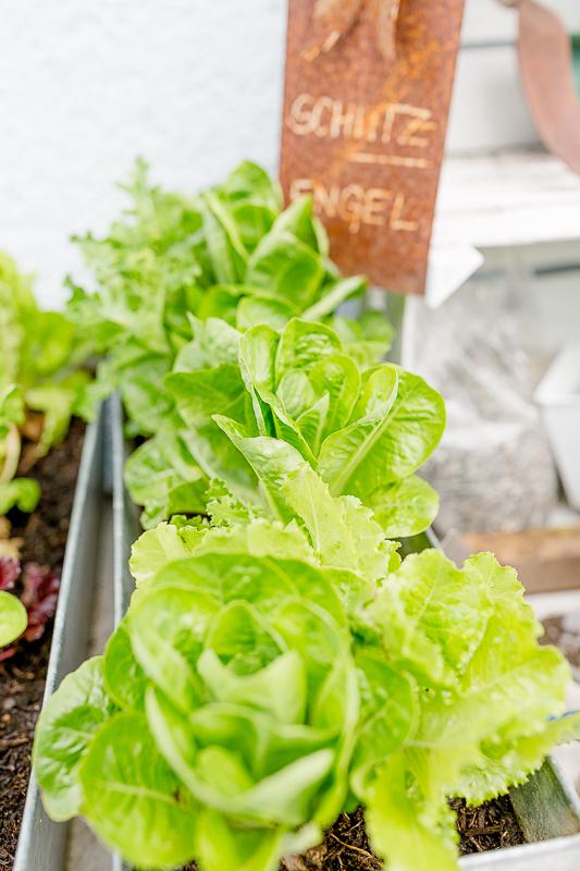 Gemüseanbau auf Balkon und Terrasse, Pomponetti, Salat in Blumenkästen anbauen