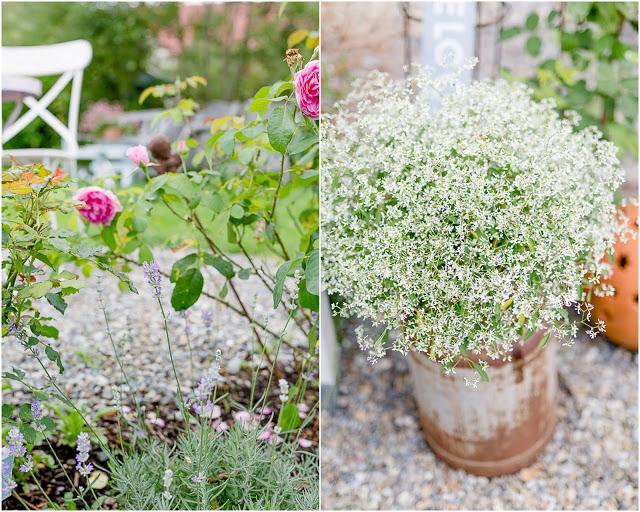 Gartenimpressionen im August, Pomponetti, Euphorbium, Gertrude Jekyll