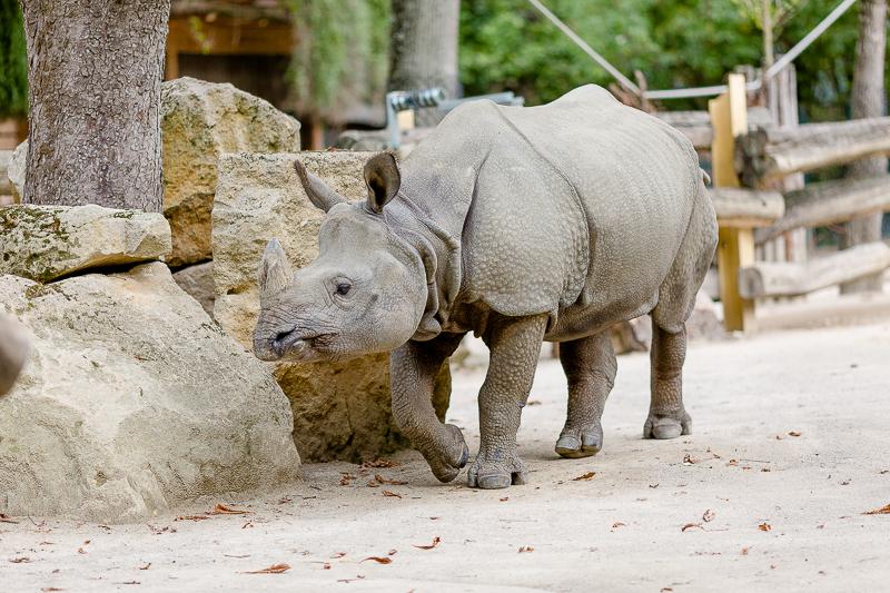 Tiergarten Schönbrunn in Wien, Pomponetti, ältester Zoo der Welt, Nashorn