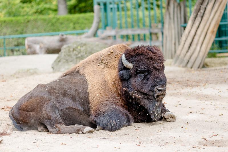 Tiergarten Schönbrunn in Wien, Pomponetti, ältester Zoo der Welt, Büffel