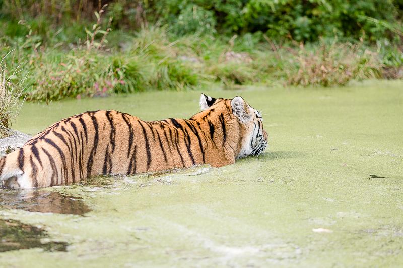 Tiergarten Schönbrunn in Wien, Pomponetti, ältester Zoo der Welt, Sibirischer Tiger