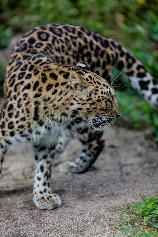 Tiergarten Schönbrunn in Wien, Pomponetti, ältester Zoo der Welt, Amurleopard