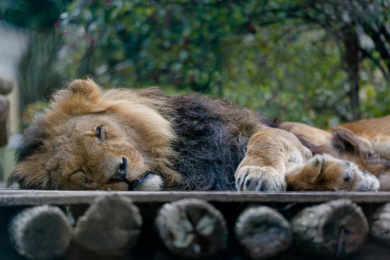 Tiergarten Schönbrunn in Wien, Pomponetti, ältester Zoo der Welt, Löwen