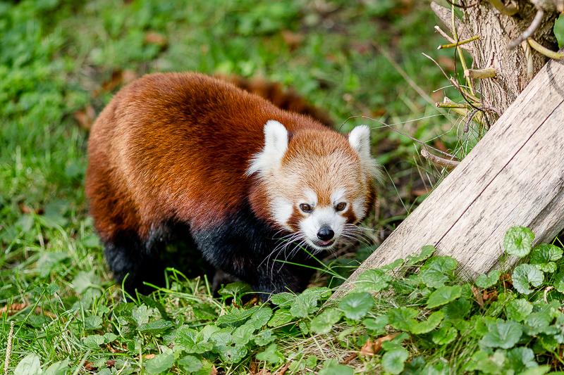Tiergarten Schönbrunn in Wien, Pomponetti, ältester Zoo der Welt, Roter Panda