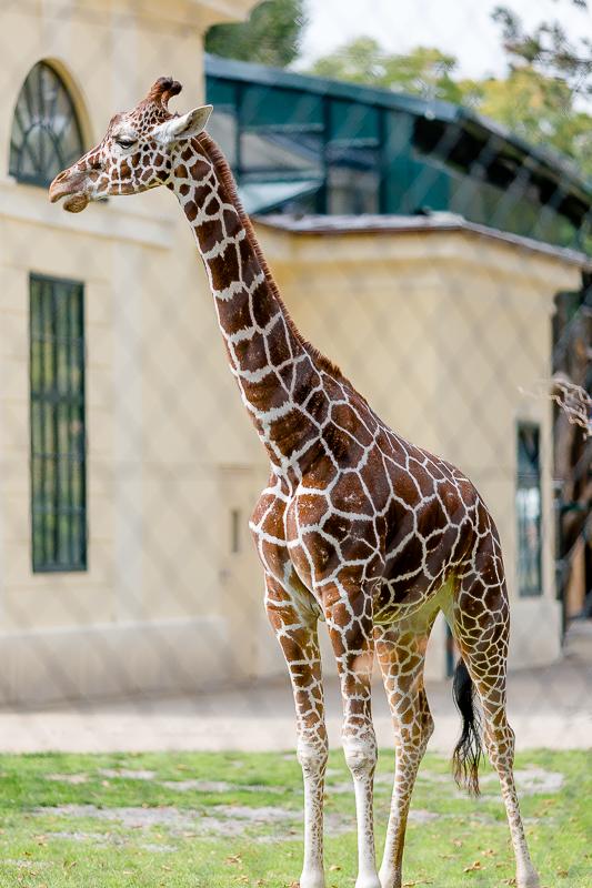 Tiergarten Schönbrunn in Wien, Pomponetti, ältester Zoo der Welt, Giraffe