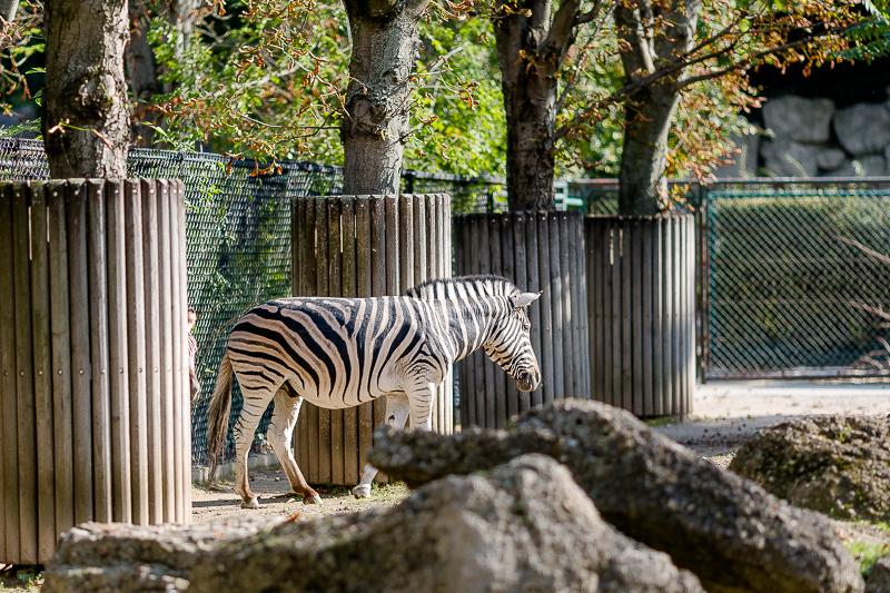 Tiergarten Schönbrunn in Wien, Pomponetti, ältester Zoo der Welt, Zebra