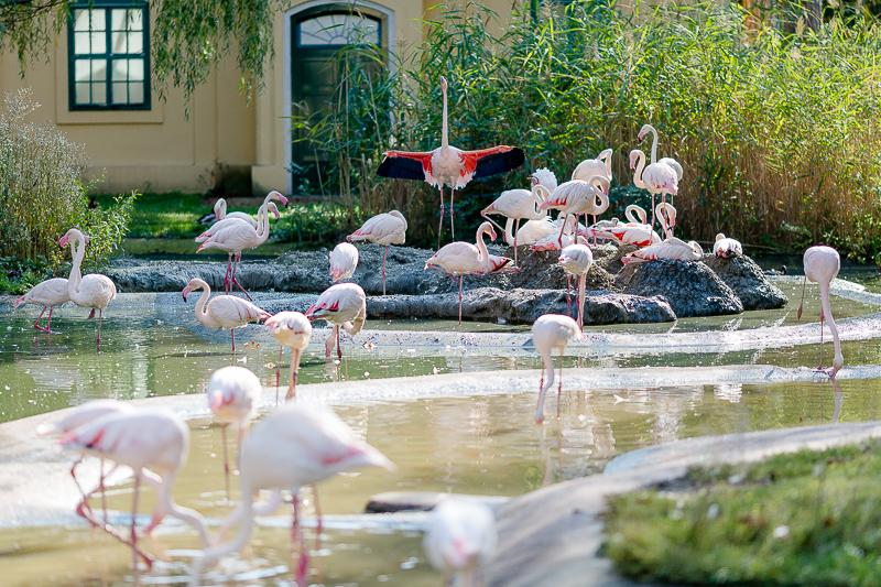 Tiergarten Schönbrunn in Wien, Pomponetti, ältester Zoo der Welt, Flamingos