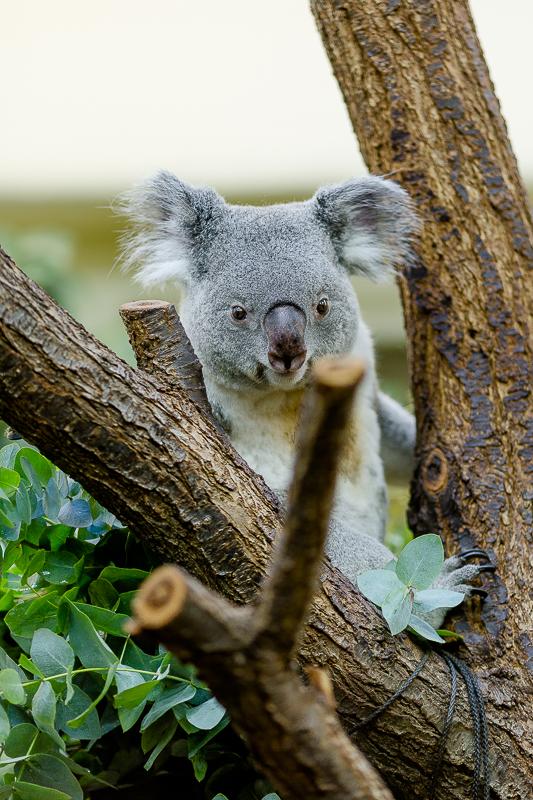 Tiergarten Schönbrunn in Wien, Pomponetti, ältester Zoo der Welt , Koalabär