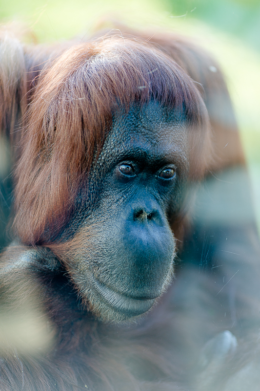 Tiergarten Schönbrunn in Wien, Pomponetti, ältester Zoo der Welt , Orang Utan