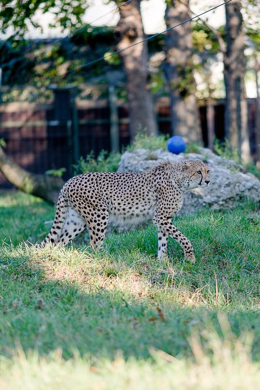 Tiergarten Schönbrunn in Wien, Pomponetti, ältester Zoo der Welt, Gepard