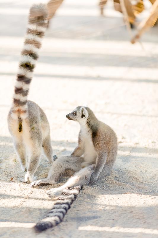 Tiergarten Schönbrunn in Wien, Pomponetti, ältester Zoo der Welt , Kattalamuren
