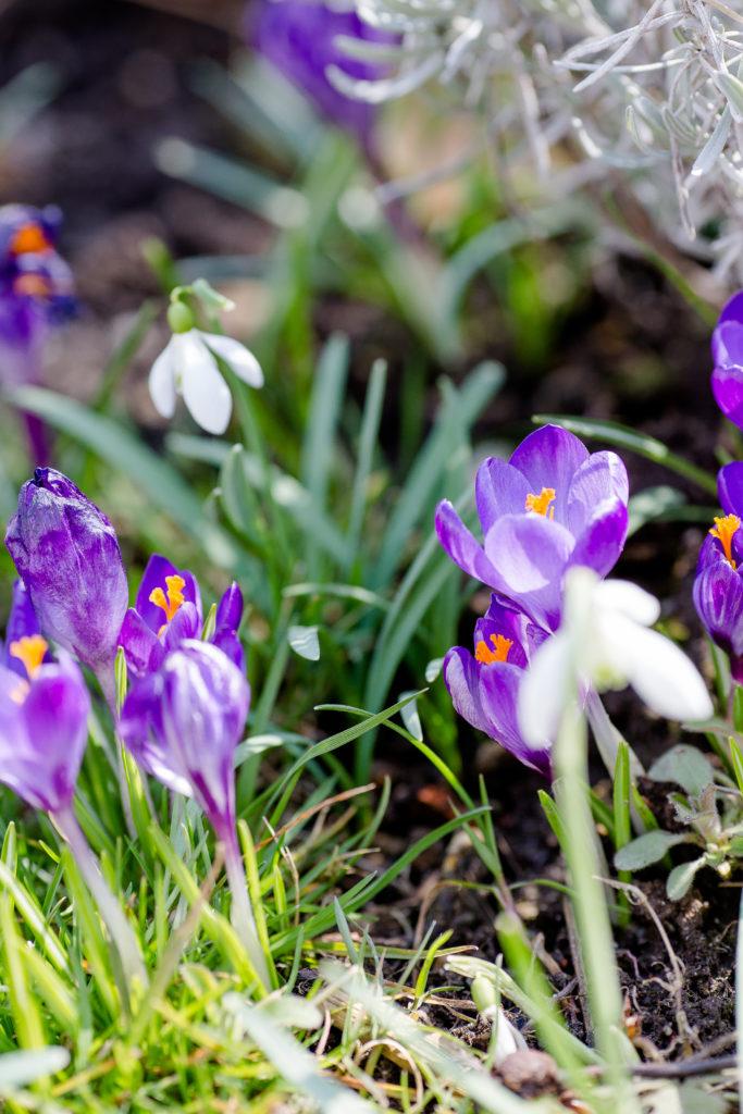 Frühling im Garten, Krokusse, Pomponetti