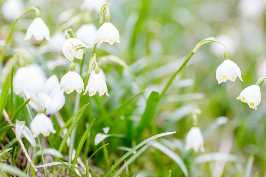 Frühling im Garten, Märzenbecher, Pomponetti