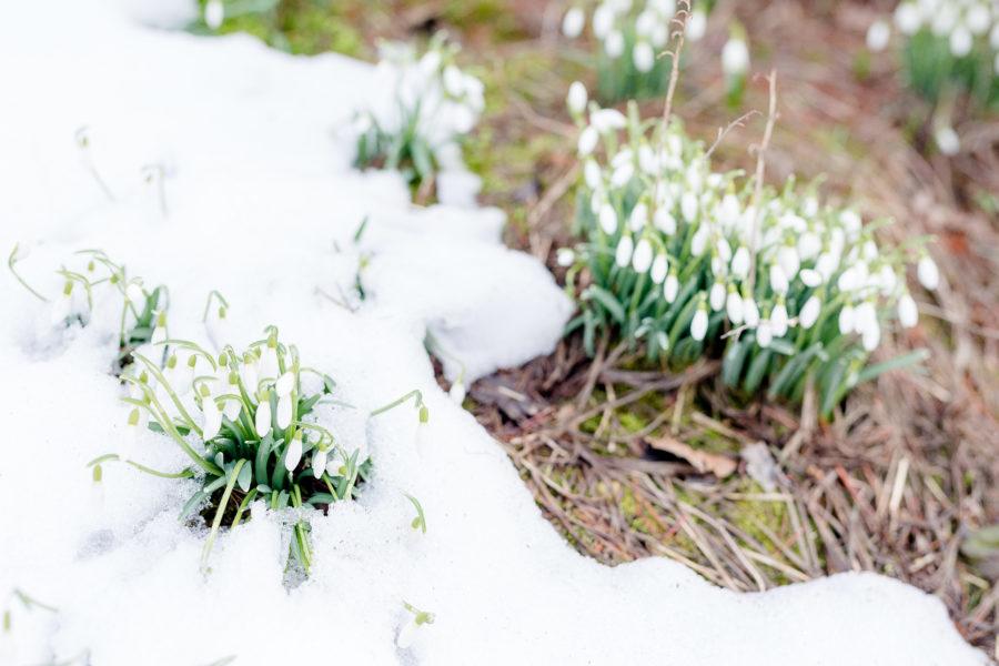 Frühlingserwachen im Garten, Schneeglöckchen, Garten im März, Pomponetti