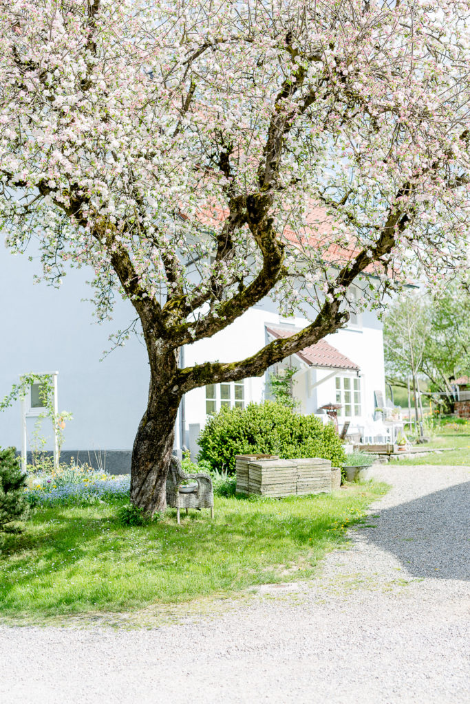 Garten Ende April, Apfelblüte, Pomponetti