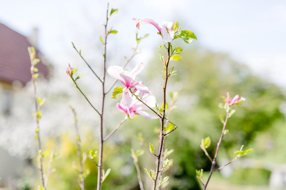 Garten Ende April, mein neuer Magnolienbaum, Pomponetti