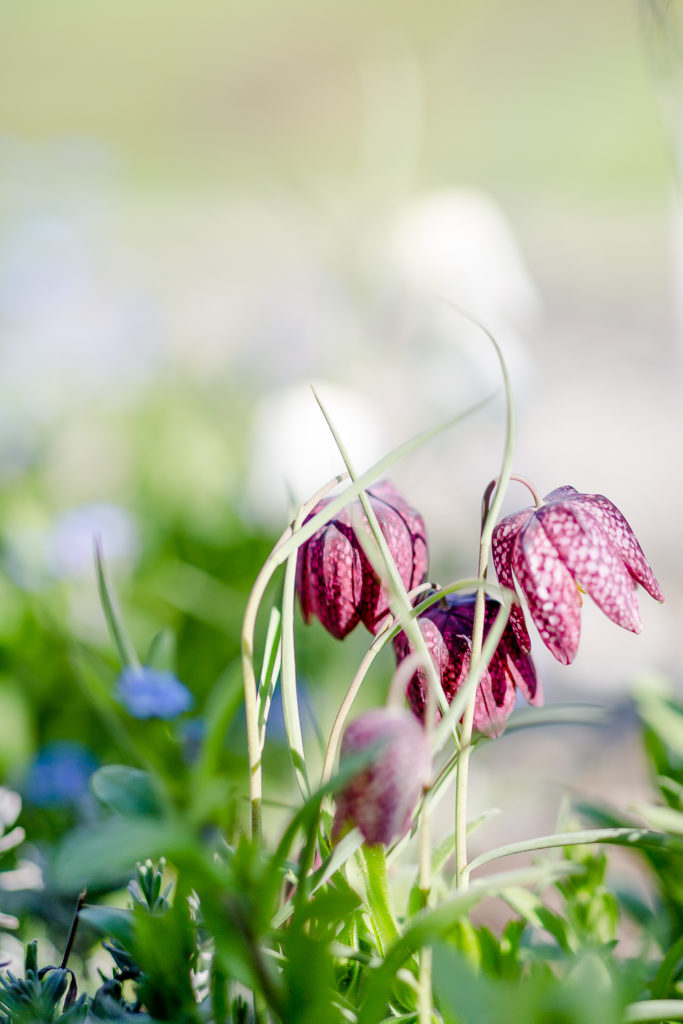 Gartenzauber im April, Pomponetti, Schachbrettblume