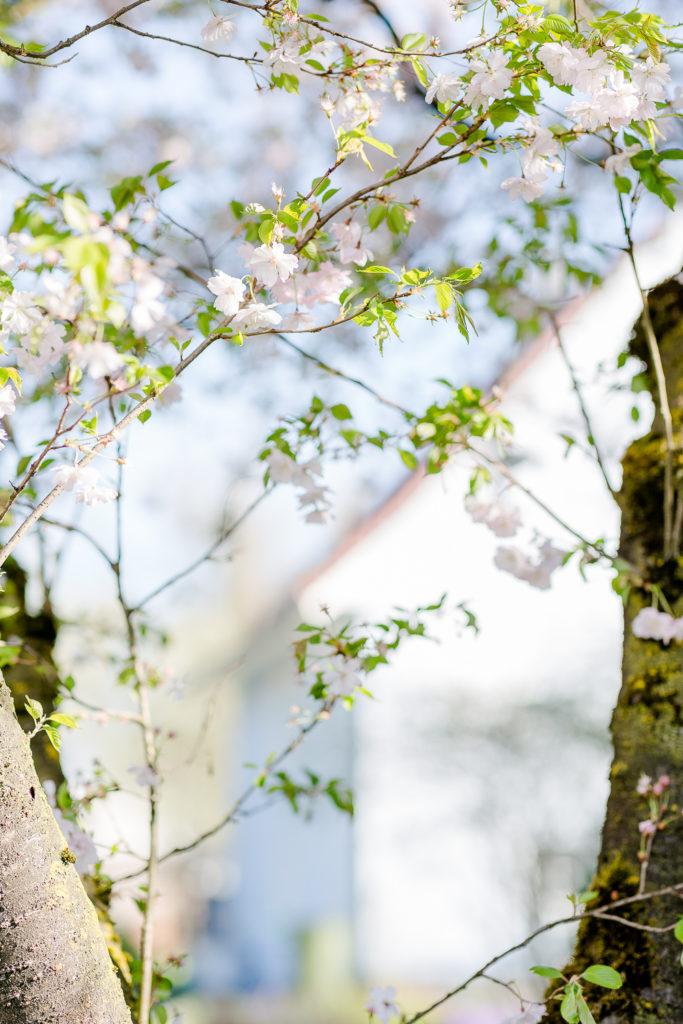 Gartenzauber im April, Pomponetti, Japanische Zierkirsche