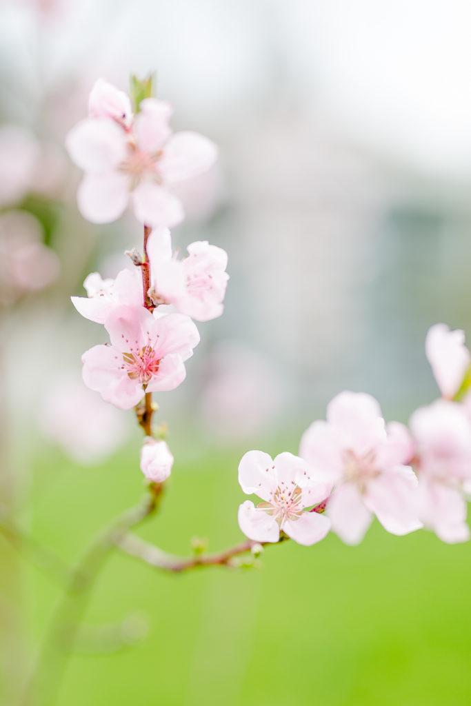 Hochbeet aus Paletten, Gartenimpressionen, Pfirsichblüten, Pomponetti