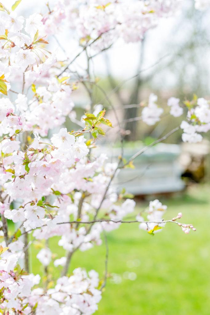 Hochbeet aus Paletten, Gartenimpressionen, Japanische Zierkirsche, Pomponetti