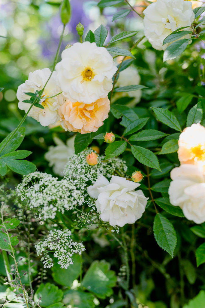Rosenimpressionen aus dem Garten, Pomponetti, Ghislaine de Feligonde