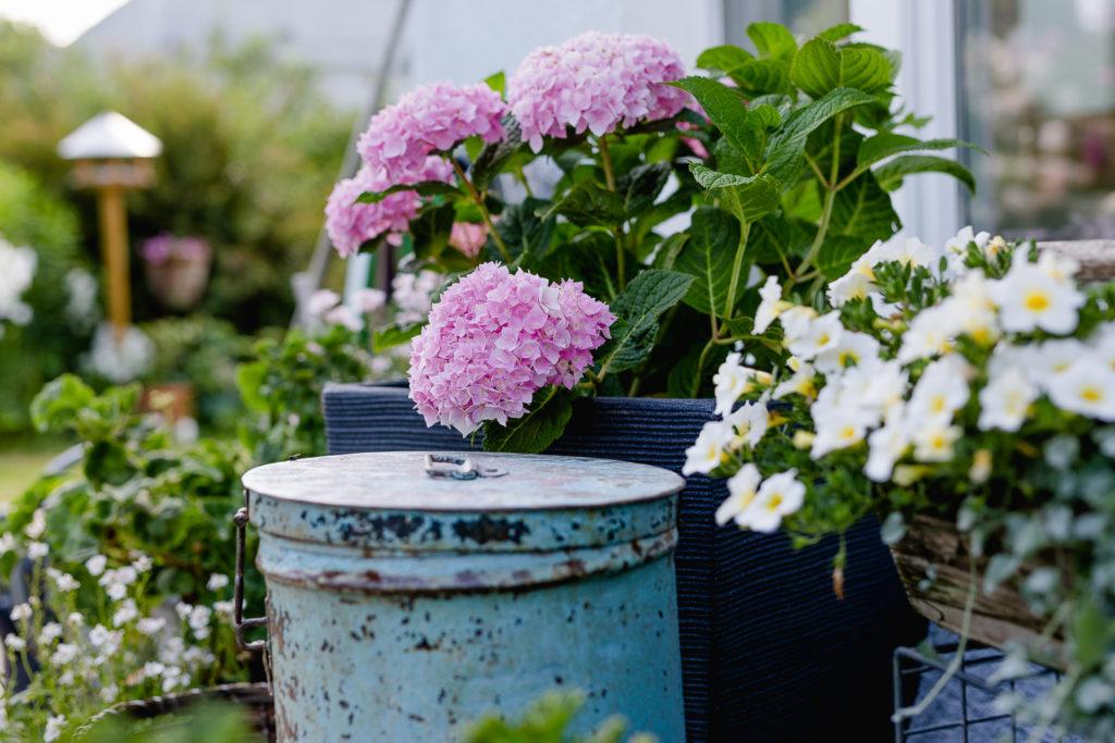 Rosenimpressionen aus dem Garten, Pomponetti
