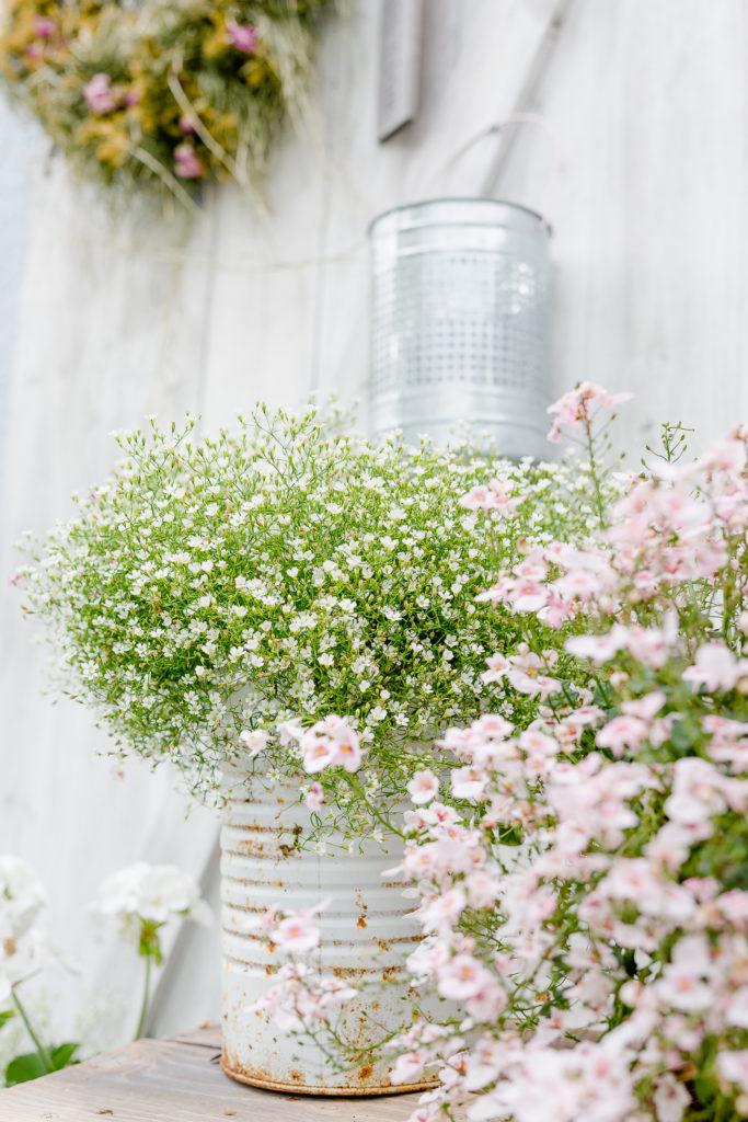 meine schönsten Pelargonien, Pomponetti, Gartenimpressionen