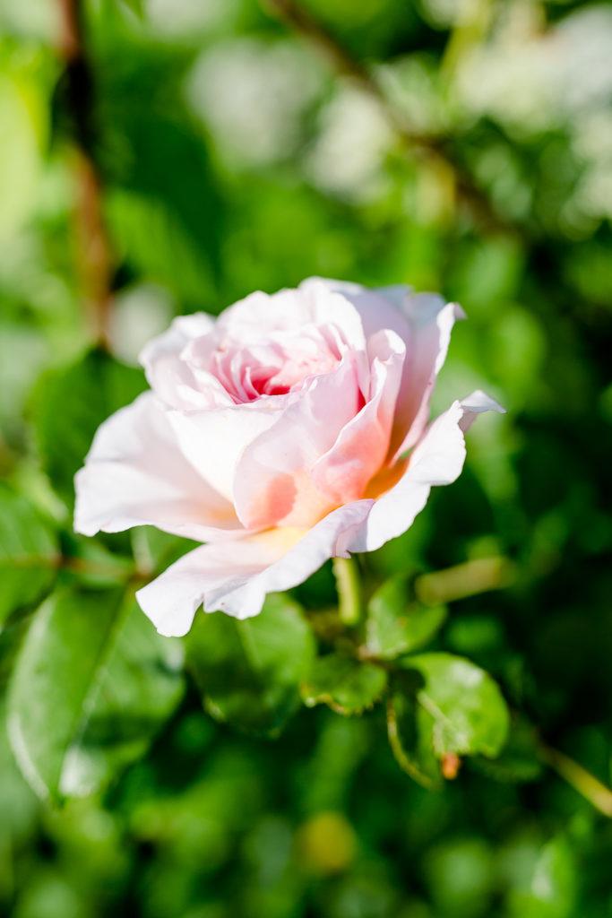 Eine Auswahl der schönsten Rosensorten, Pomponetti, James Galway