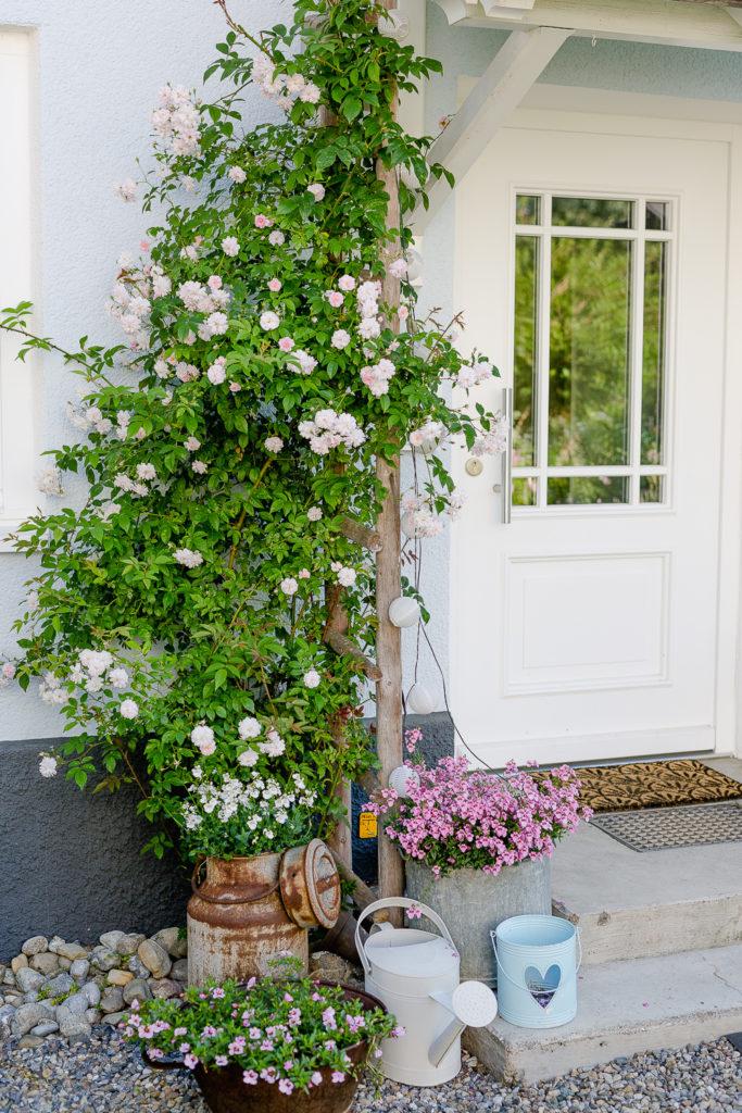 Eine Auswahl der schönsten Rosensorten, Pomponetti, Pauls Himalayan Musk