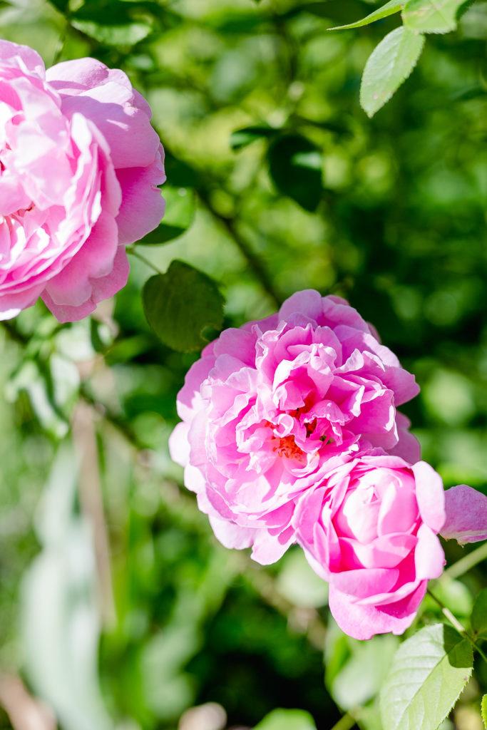 Eine Auswahl der schönsten Rosensorten, Pomponetti