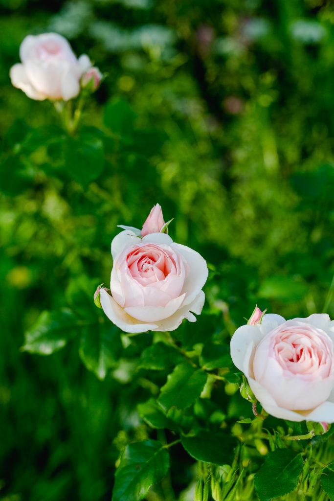 Eine Auswahl der schönsten Rosensorten, Pomponetti, Heritage