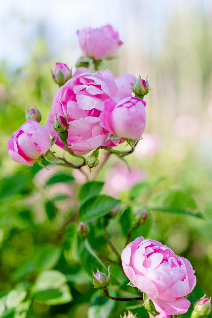 Eine Auswahl der schönsten Rosensorten, Pomponetti, Raubritter
