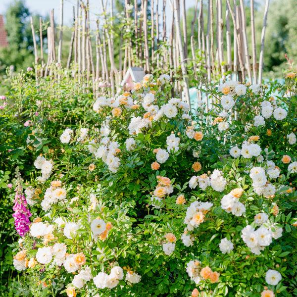 Eine Auswahl der schönsten Rosensorten, Pomponetti, Ghyslaine de Feligonde