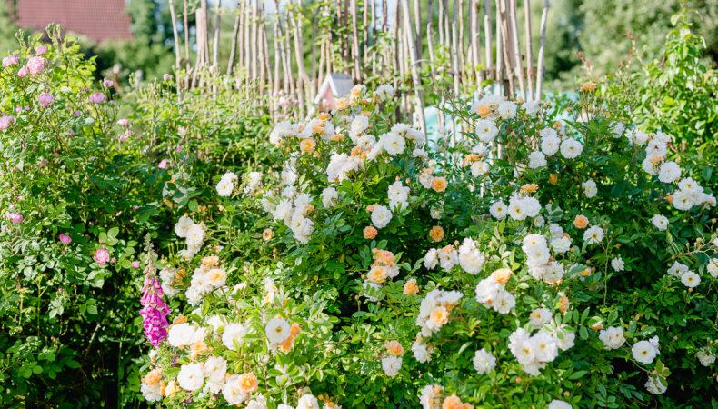 Eine Auswahl der schönsten Rosensorten