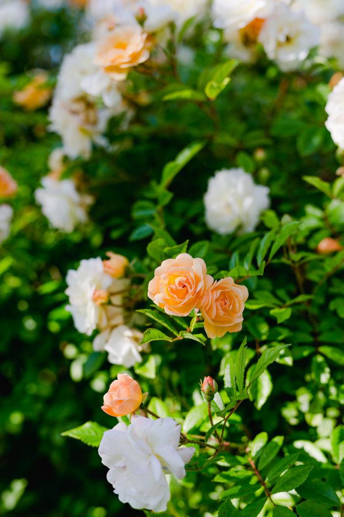 Eine Auswahl der schönsten Rosensorten, Pomponetti, Ghislaine de Feligonde