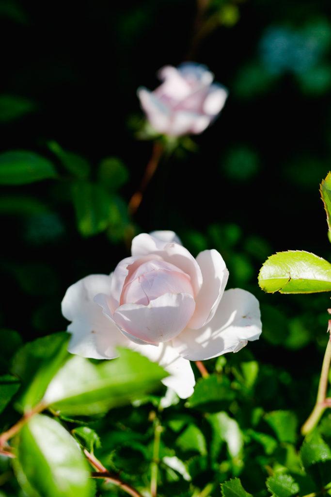 Eine Auswahl der schönsten Rosensorten, Pomponetti, Wild Eve