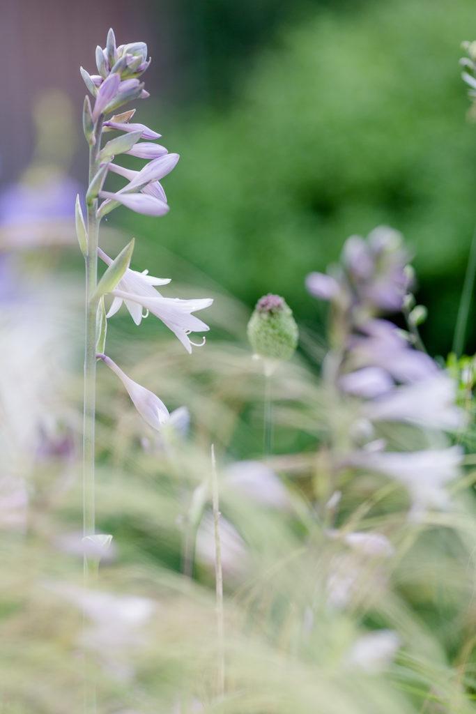 Garten im Juli, Pomponetti