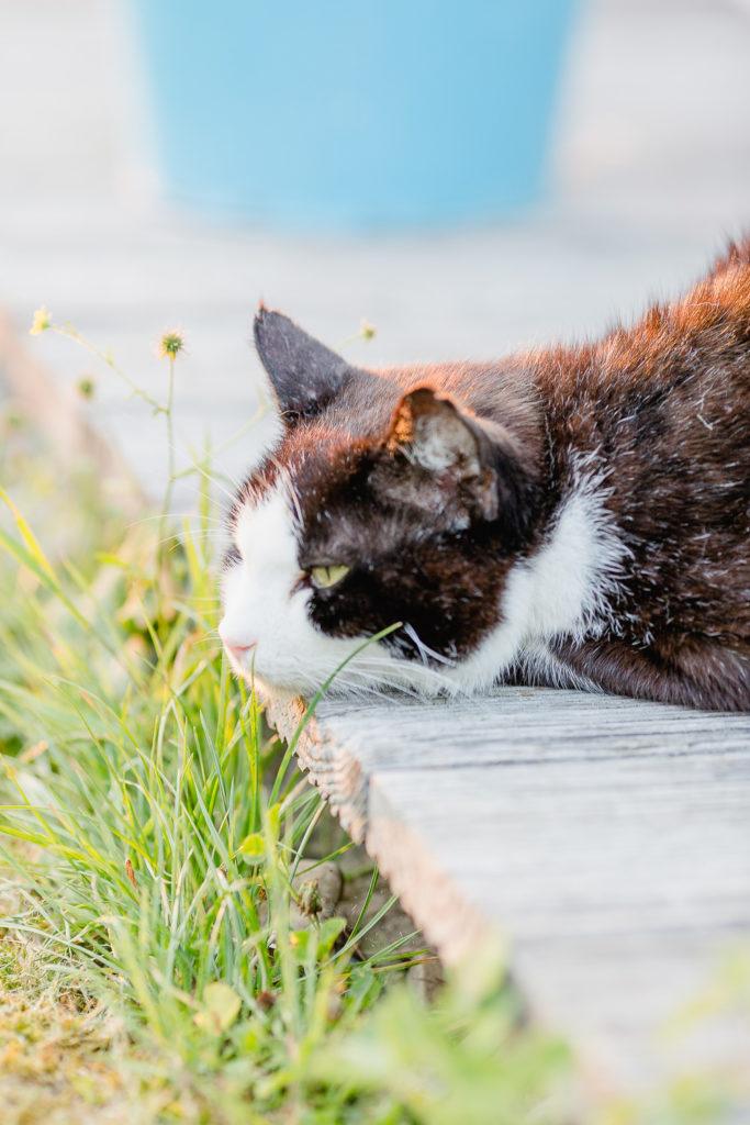 Katzenleben im Garten, Pomponetti