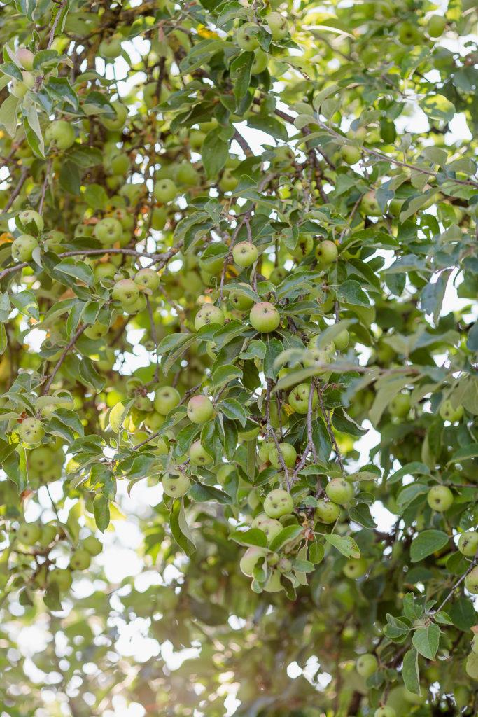 Sommerstauden oder Neues aus meinem Garten, Pomponetti